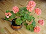 Комнатные растения. Герань