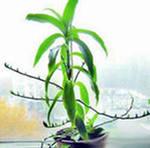 Комнатные растения. Золотой ус