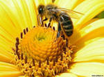 Пчёлы умеют омолаживаться