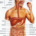 Как работает организм